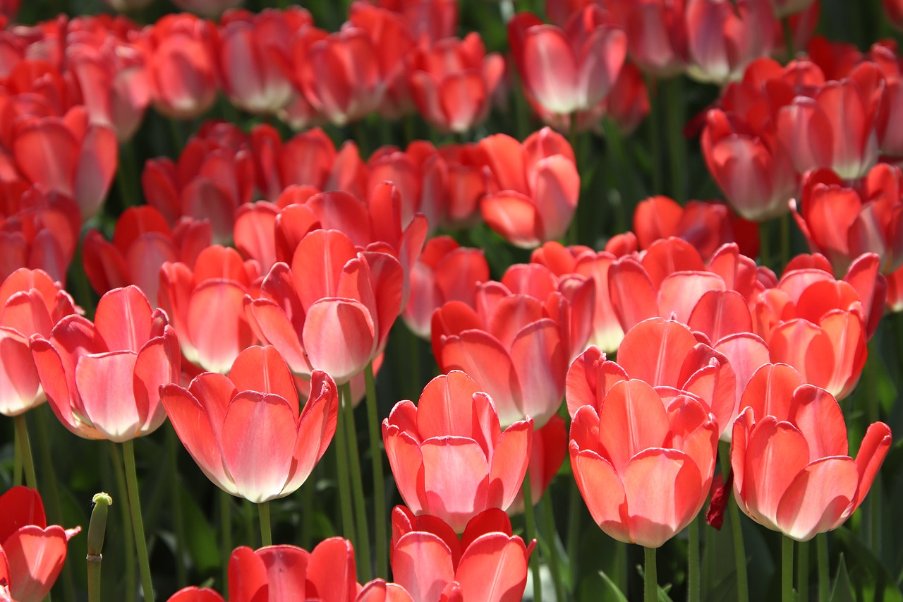 tulips-5830270_1280